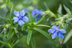 Цветок Lithodora Rosmarinifolia в цветени стоковые изображения rf