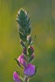 Цветок Lupinus Стоковое Изображение