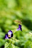 Цветок Mangpor Стоковое Изображение RF