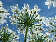 Цветок mantegazzianum Heracleum, Кавказ Стоковые Фотографии RF