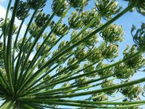 Цветок mantegazzianum Heracleum, Кавказ Стоковое фото RF