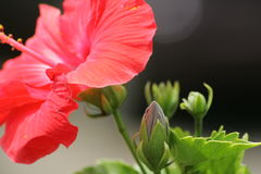 цветок maui стоковые фотографии rf