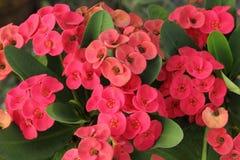 Цветок Milii молочая Стоковая Фотография RF