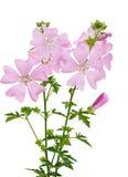 Цветок Moschata мальвы Стоковое Изображение