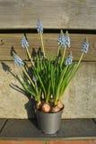 Цветок Muscari в баке Стоковое Изображение RF