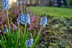 Цветок Muscari Стоковые Изображения RF