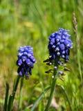 Цветок Muscari Стоковые Фотографии RF