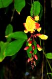 Цветок mysorensis Thunbergia стоковое изображение rf