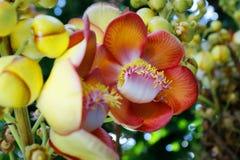 Цветок Nagalinga, дерево пушечного ядра стоковые фотографии rf