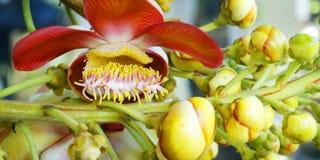 Цветок Nagalinga, дерево пушечного ядра стоковая фотография rf