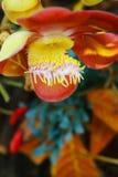 Цветок Nagalinga, дерево пушечного ядра стоковая фотография