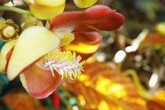 Цветок Nagalinga, дерево пушечного ядра стоковое фото rf
