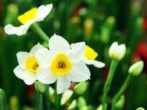 Цветок Narcissus Стоковое Фото