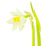 Цветок Narcissus Стоковая Фотография
