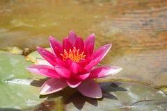 Цветок Ninfea в озере Стоковое Изображение RF