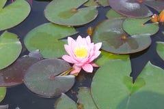 Цветок Ninfea в озере Стоковые Фото