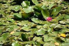 Цветок Ninfea Стоковое фото RF