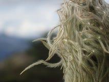 Цветок Occidentalis западный Pasque ветреницы Стоковая Фотография