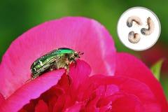 Цветок Paeony с розовым жук-чефером и личинками стоковые изображения rf