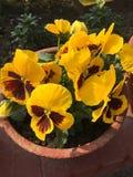 Цветок 5 Pansy желтый, зеленый цвет бутона 3 белый стоковая фотография