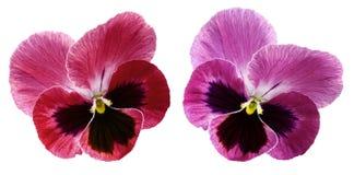 Цветок Pansy на белизне изолировал предпосылку с путем клиппирования Крупный план отсутствие теней Стоковое фото RF