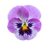 Цветок Pansy Стоковые Фото