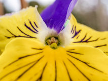 Цветок Pansy Стоковая Фотография RF