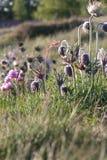 Цветок Pasque в поле стоковые фотографии rf