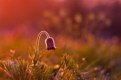 Цветок Pasque в фиолетовом свете Стоковые Изображения