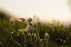 Цветок Pasque зацветая на утесе весны на заходе солнца Стоковые Фото