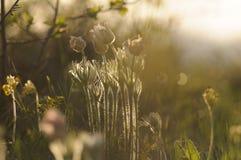 Цветок Pasque зацветая на утесе весны на заходе солнца Стоковое Изображение RF