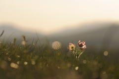 Цветок Pasque зацветая на утесе весны на заходе солнца Стоковая Фотография RF