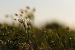 Цветок Pasque зацветая на утесе весны на заходе солнца Стоковая Фотография