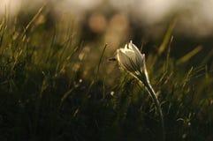 Цветок Pasque зацветая на утесе весны на заходе солнца Стоковые Изображения