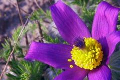 Цветок Pasque Стоковое Изображение RF