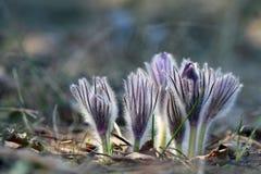 Цветок Pasque Стоковые Фотографии RF