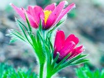 Цветок Pasque Стоковая Фотография RF