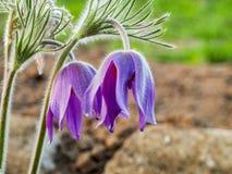 Цветок Pasque Стоковые Фото