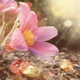 Цветок Pasque Стоковые Изображения