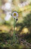 Цветок Pasque, Pulsatilla vulgaris, patens Pulsatilla Стоковая Фотография