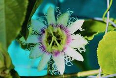 Цветок Passionfruit Стоковая Фотография