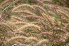 Цветок Pennisetum Стоковая Фотография