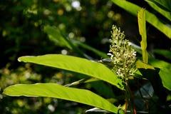 Цветок Phrynium Стоковая Фотография RF