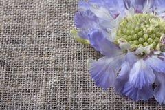 Цветок Pincushion Scabiosa стоковые фотографии rf