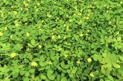 Цветок pintoi арахиса Стоковая Фотография