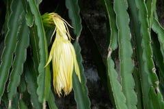 Цветок Pitaya Стоковые Изображения