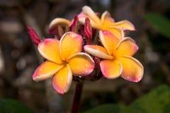 Цветок Plumeria в саде Стоковое фото RF