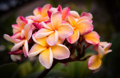 Цветок Plumeria в саде Стоковое Изображение RF