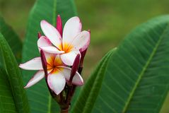 Цветок Plumeria на дереве Стоковые Изображения