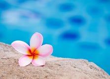 Цветок Plumeria около бассейна Стоковая Фотография